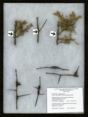 Cedar-quince rust on (Gymnosporangium clavipes) on Crataegus pruinosa (Wendl.) K. Koch (frosted hawthorn)