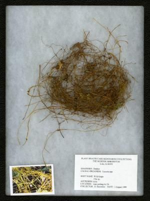 Dodder (Cuscuta spp. on Vitis L. (grape)