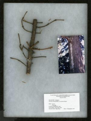Cytospora (Leucostoma kunzei) on Picea spp. (Spruce)