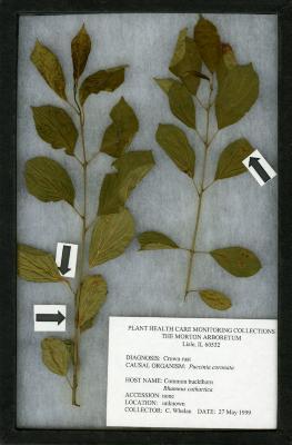 Crown rust (Puccinia coronata) on Rhamnus cathartica L. (common buckthorn)