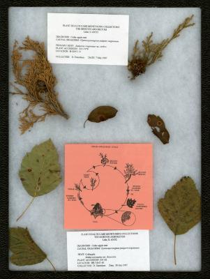 Cedar-apple rust (Gymnosporangium juniperi-virginianae) on Malus coronaria var. dasycalyx Rehd. (wild sweet crabapple)