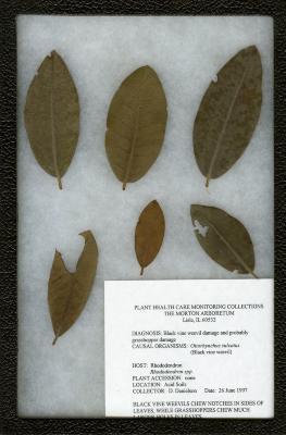 Black vine weevil (Hotiorhynchus sulcatus) on Rhododendron L. (azalea)