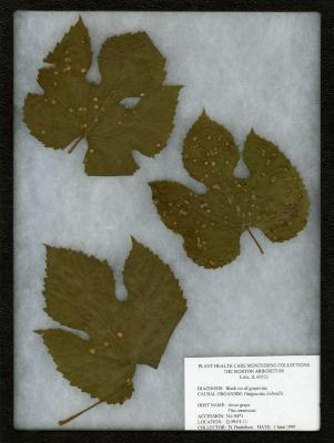 Black rot of grapevine (Guignardia bidwellii) on Vitis amurensis Rupr. (Amur grape)
