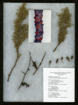 Cedar-quince rust (Gymnosporangium clavipes) on Juniperus scopulorum 'Pathfinder' (Pathfinder Rocky Mountain juniper)
