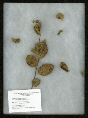 Flea weevil damage (unknown flea weevil) on Ulmus americana 'Moline' (MOLINE AMERICAN ELM)