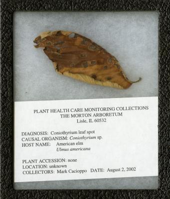 Coniothyrium leaf spot (Coniothyrium sp.) on Ulmus americana L. (American elm)