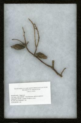 Bagworm (Thyridopteryx ephemeraformis) on Juniperus spp. (Juniper)
