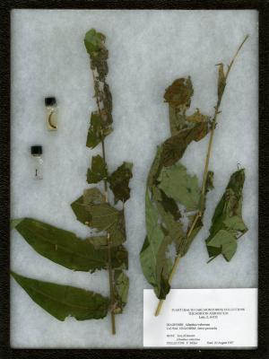 Ailanthus webworm (Atteva punctella) on Ailanthus altissima (Mill.) Swingle (tree of heaven)