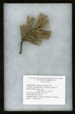 Black pine needle scale (Nuculaspis califormica) on Pinus mugo var. rostrata (Ant.) Hoopes (Beaked mugo pine)