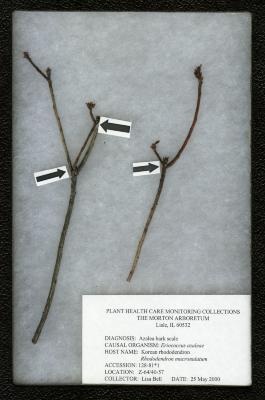 Azalea bark scale (Eriococcus azaleae) on Rhododendron mucronulatum Turcz. (Korean rhododendron)