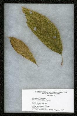 Chlorosis on Halesia carolina L. (Carolina silverbell)