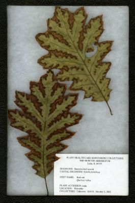 Bacterial leaf scorch (Xylella fastidiosa) on Quercus rubra L. (northern red oak)