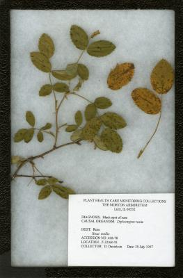 Black spot of rose (Diplocarpon rosea) on Rosa mollis Smith (rose)