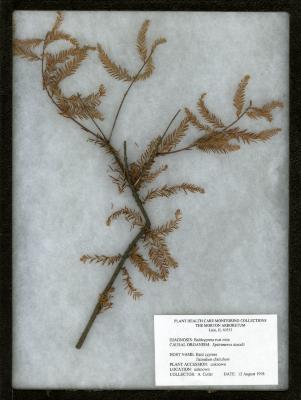 Bald cypress rust mite (Epitrimerus taxodii) on Taxodium distichum (L.) Rich. (bald-cypress)