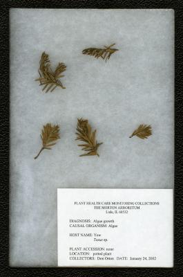 Algal growth (Algae) on Taxus L. (yew)