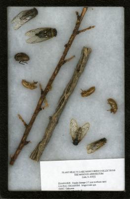 Cicada damage (Magicicada spp.) on Malus Mill. (crabapple)