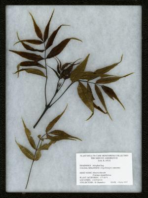 Ash plant bug (Tropidosteptes amoemus) on Fraxinus mandshurica Rupr. (Manchurian ash)