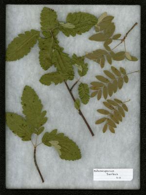 Entomosporium on Sorbus L. (mountain-ash)