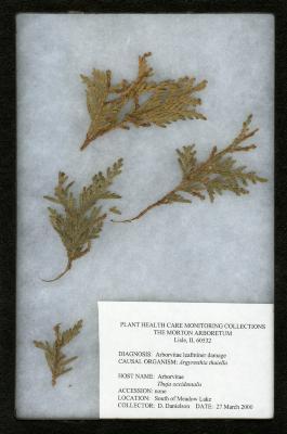Arborvitae leafminer (Argyresthia thuiella) on Thuja occidentalis L. (eastern arborvitae)