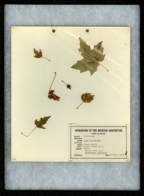 Gouty vein gall (Dasyneura communis) on Acer saccharum Marsh. (sugar maple)