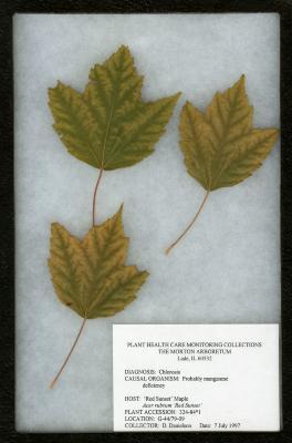 Chlorosis on Acer rubrum Acer rubrum 'Franksred' (RED SUNSET®) red maple)