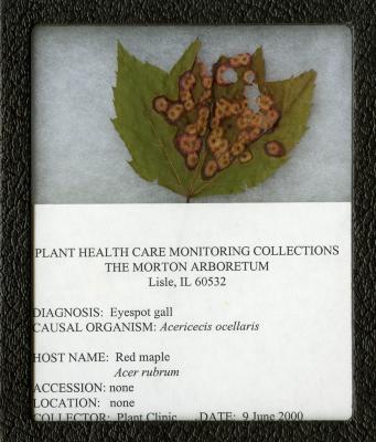 Eyespot galls (Acericecis ocellaris) on Acer rubrum L. (red maple)