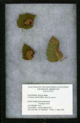 Botrytis blight (Botrytis cinerea) on Crataegus mollis (Torr. & Gray) Scheele (downy hawthorn)