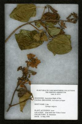 Ascochyta blight (Ascochyta syringae) on Syringa vulgaris L. (common lilac)