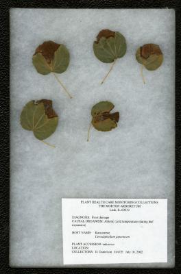Frost damage (Abiotic - cold temperatures during leaf expansion) on Cercidiphyllum japonicum Sieb. & Zucc. (katsura tree)