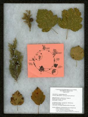Cedar-hawthorn rust (Crataegus sp.) on Crataegus L. (hawthorn)