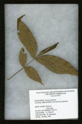 Downy leaf spot on Carya spp. (Hickory)