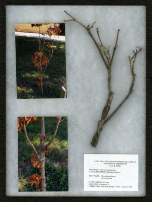 Dogwood anthracnose (Discula destruxtiva) on Cornus florida L. (flowering dogwood)