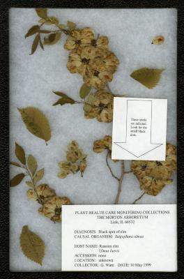 Black spot of elm (seeds) (Stegophora ulmea) on Ulmus laevis Pall. (RUSSIAN ELM)