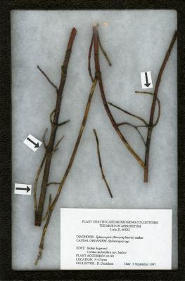 Botryosphaeria (Sphaeropsis spp.) on Cornus stolonifera var. baileyi (Bailey dogwood)