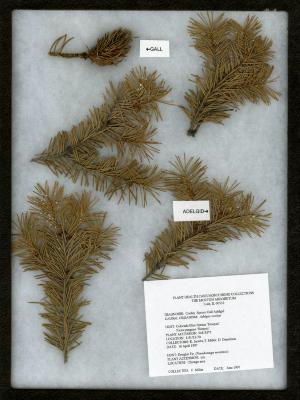 Cooley spruce gall adelgid (Aselges cooleyi) on Picea pungens 'Hoopsii' (Hoops blue spruce)