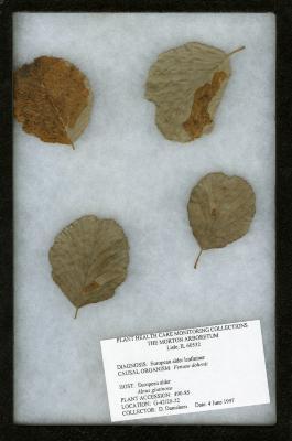 Alder leafminer (Fenusa dohrnii) on Alnus glutinosa (L.) Gaertn. (European black alder)