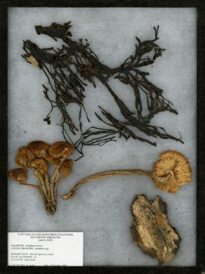 Armillaria root rot (Armillaria) on Quercus rubra L. (northern red oak)