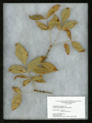 Verticillium wilt (Verticillium dahliae) on Fraxinus pennsylvanica (Green ash)