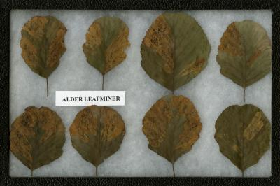 Alder Leafminer