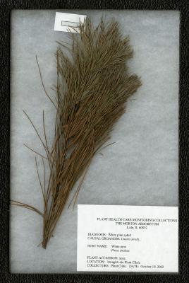 White pine aphid (Cinara strobi) on Pinus strobus L. (eastern white pine)