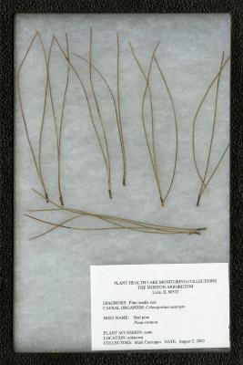 Pine needle rust (Coleosporium asterum) on Pinus resinosa Ait. (red pine)