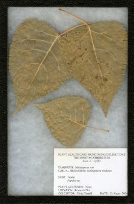 Melampsora rust (Melamposora medusae) on Populus sp. (Poplar)