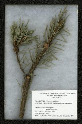 Pine-pine gall rust (Endocronartium harknessii) on Pinus sylvestris L. (Scots pine)