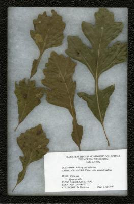 Oak leafminer (Cameraria hamadryadella) on Quercus alba L. (white oak)