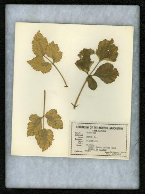 Short-cycle orange rust (Kunkelia nitens) on Rubus sp. (Blackberry)