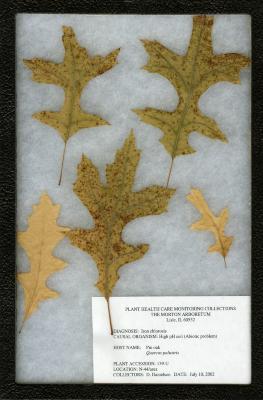 Iron chlorosis (High pH soil (Abiotic problem)) on Quercus palustris Münchh. (pin oak)