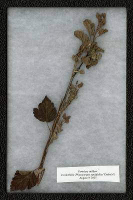 Powdery mildew on Physocarpus opulifolius 'Diabolo' (Common Ninebark 'Diablo')