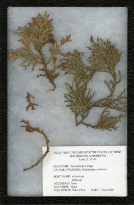 Pestalotiopsis blight (Pestalotiopsis funerea) on Thuja sp. (Arborvitae)