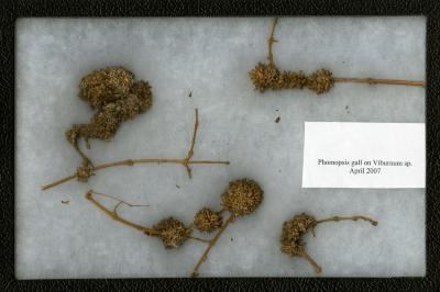 Phomopsis gall on Viburnum sp. (Viburnum)