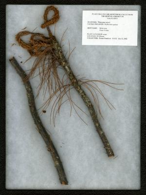 White pine weevil (Phyllactinia guttata) on Pinus strobus L. (eastern white pine)